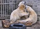 Eisbären 14