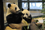 Panda Idylle