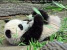 Panda Baby im Bambus