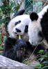 Große Pandas 06