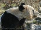 Großer Panda 01
