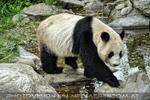 Großer Panda 1