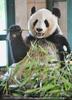 Gro�er Panda und sein Bambus