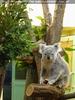 Koala mit reichlich Futter