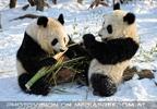 Große Panda Mahlzeit 14