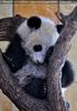Kleiner großer Panda 13