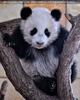 Kleiner großer Panda 12