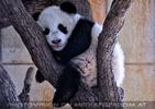 Kleiner großer Panda 18