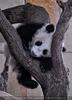 Kleiner großer Panda 22