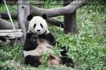 Gro�er Panda