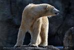 Eisbären 02