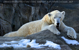 Eisbären 03