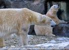 Eisbären 11
