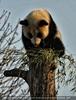 Pandababy auf Baum