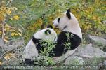 Panda Mama mit Baby