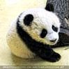 Hallo Panda Baby