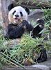 Große Pandas 02