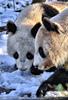 Große Pandas 05