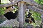 Große Pandas 2