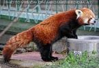 Roter Panda 01
