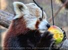 Roter Panda 03
