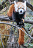 Roter Panda 04