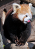 Roter Panda 07
