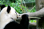 Pandabär beim Bambus spitzen