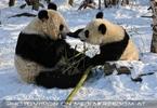 Große Panda Mahlzeit 09