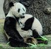 Panda Mama bestiegen