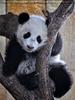 Kleiner großer Panda 23