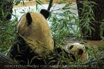 Fu Long mit Mama Yang Yang