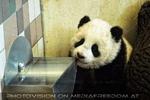 Fu Long der Baby Panda
