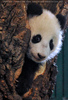 Kleiner großer Panda 05