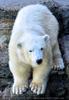 Eisbären 2