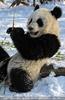 Große Panda Mahlzeit 17