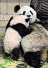 Panda Mama muss rasten