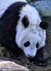 Große Pandas 04