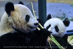 Große Pandas 1