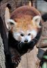 Roter Panda 02