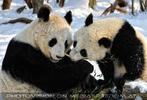 Große Panda Mahlzeit 07
