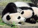 Panda kuscheln