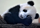 Kleiner großer Panda 01