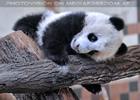 Kleiner großer Panda 07