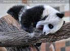 Kleiner großer Panda 08