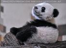 Kleiner großer Panda 10