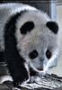 Kleiner großer Panda 15