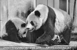 Pandababy mit Mama