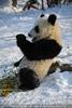 Große Panda Mahlzeit 22
