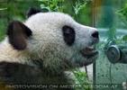 Großer kleiner Panda 1